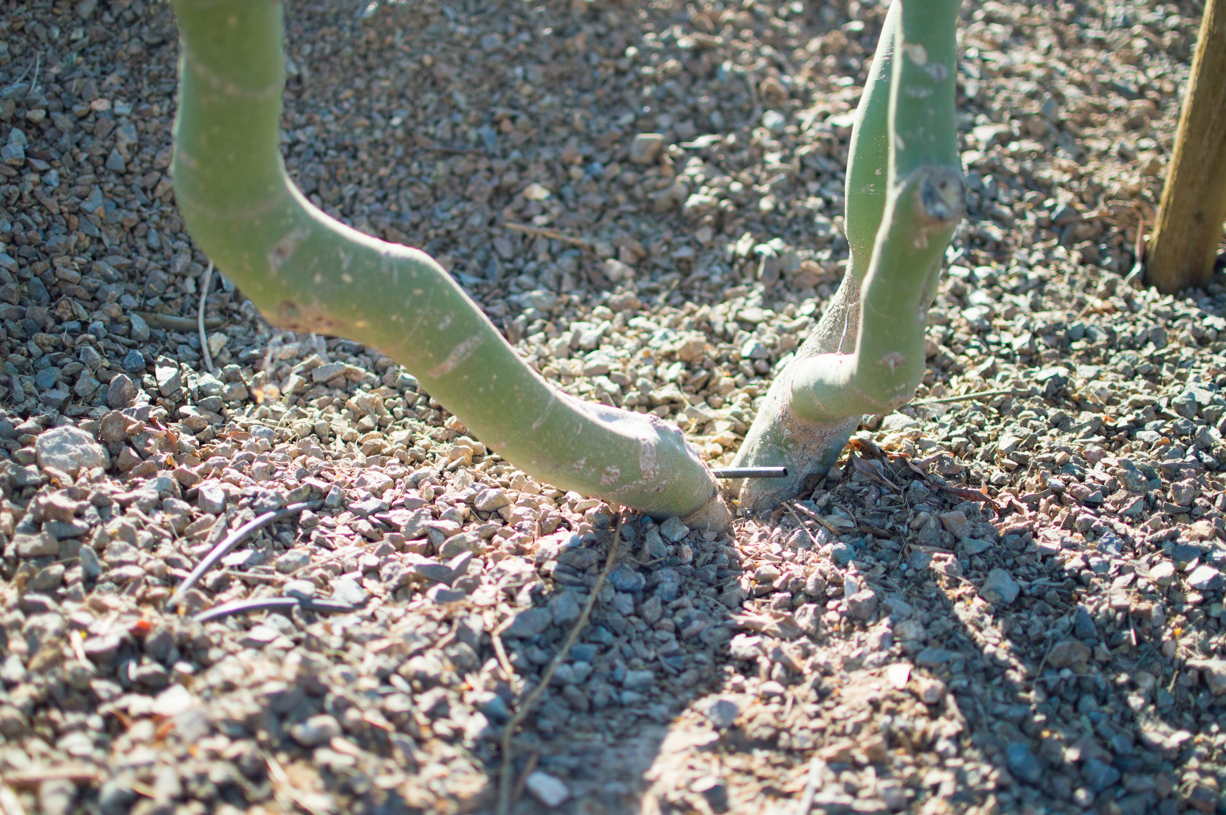 Palo verde has been planted too deeply, which can easily be corrected soon after planting.