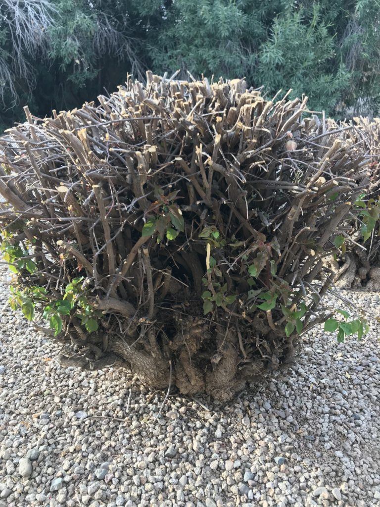 cut back frost-damaged bougainvillea